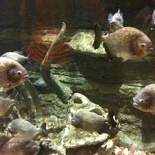 Everyone loves piranhas!