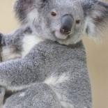 Singapore zoo koala 09