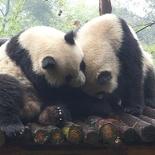 chengdu panda research 017