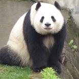 chengdu panda research 064