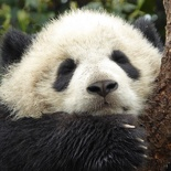 chengdu panda research 072