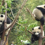 chengdu panda research 083