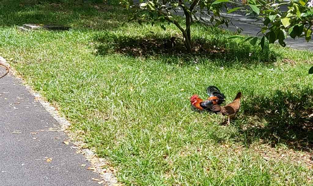 A rooster and hen roosting under the sun on a grass verge