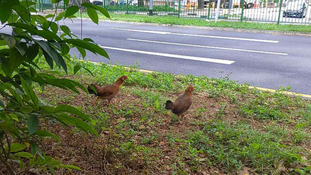 Bukit merah wild chickens Hens by the roadside